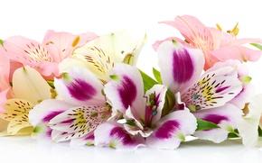 Обои белый фон, цветы, альстромерия