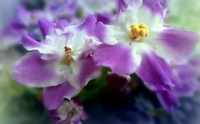 Картинка цветы, сиреневый, лепестки, бутоны, цветки, фиалка
