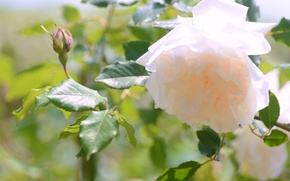 Картинка роза, лепестки, бутончик
