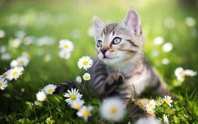 Картинка зелень, лето, трава, ромашки, котёнок, боке