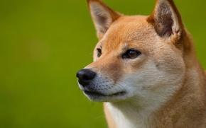 Картинка взгляд, друг, Собака, мордочка, профиль, рыжик, шиба-ину