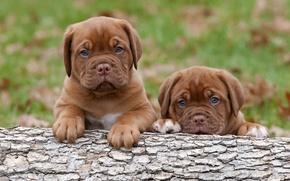 Картинка собаки, щенки, малыши, Бордосский дог