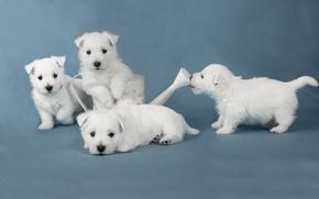 Картинка собаки, щенки, white terriers