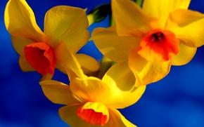 Картинка цветы, краски, лепестки, нарцис