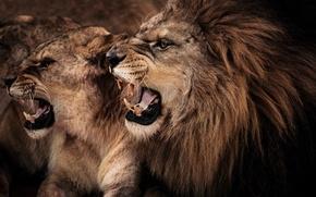 Картинка кошки, лев, пара, клыки, профиль, львица
