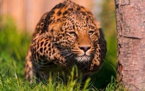 Обои леопард, готовность, бросок, стойка