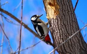 Картинка дерево, птица, дятел, веточки