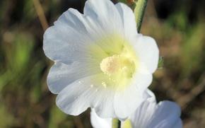 Картинка белый, цветок, макро, жёлтый, пыльца