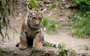 Картинка кошка, тигр, детёныш, тигрёнок