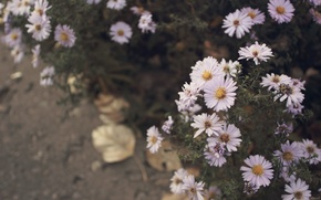 Картинка Цветы, Фото, Осень, Листья, Асфальт