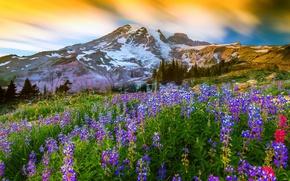 Картинка трава, цветы, природа, гора, вулкан, вершина, Вашингтон, США, люпин, Mount Rainier National Park, Маунт-Рейнир