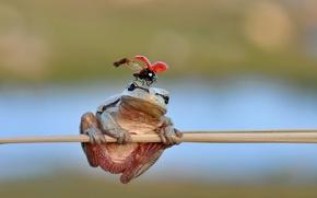 Картинка frog, freedom, ladybug, stalk, ladybird