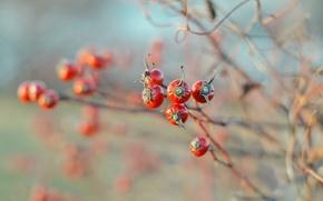 Картинка осень, природа, ягоды, Шиповник