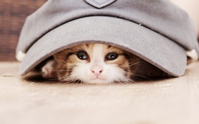 Обои кепка, животное, взгляд, котёнок