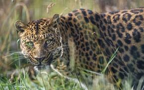 Картинка трава, взгляд, морда, леопард, ©Tambako The Jaguar