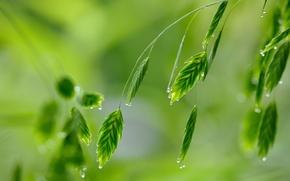 Картинка зелень, трава, капли, макро, роса