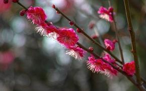 Картинка макро, цветы, ветки, блики, Дерево, лепестки, размытость, цветение, малиновые, слива