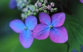 Картинка макро, лепестки, цветки, боке, гортензия