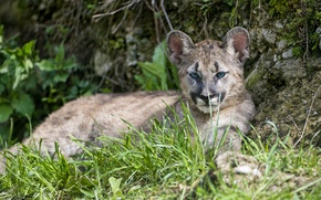 Картинка трава, взгляд, детёныш, котёнок, пума, горный лев, кугуар, ©Tambako The Jaguar