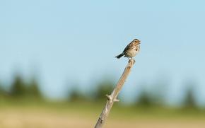 Картинка ветка, Аляска, луг, воробей, Alaska, branch, пение, meadow, sparrow, Lake Clark National Park, singing, Национальный ...