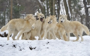 Картинка зима, снег, стая, волки