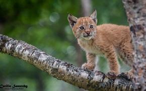 Картинка поза, хищник, детёныш, рысь, дикая кошка, на дереве, наблюдение, рысёнок