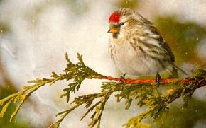 Картинка птица, ветка, чечётка