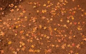 Обои клен, земля, желтые, листья