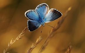 Картинка фон, бабочка, растения, колоски, голубая