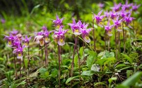 Картинка цветы, Канада, Альберта, Banff National Park, орхидея, калипсо