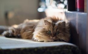 Картинка кошка, дом, лежа, Daisy, Ben Torode, Benjamin Torode