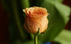 Обои бутон, лепестки, роза