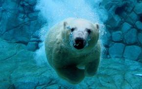 Обои медведь под водой
