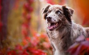 Картинка осень, язык, взгляд, морда, листья, цвета, природа, фон, краски, портрет, собака, ярко, голубоглазая, красава, австралийская …