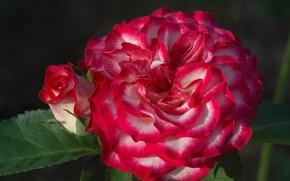 Картинка макро, роза, розы, лепестки, бутон