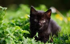 Обои котёнок, малыш, трава, чёрный котёнок, взгляд