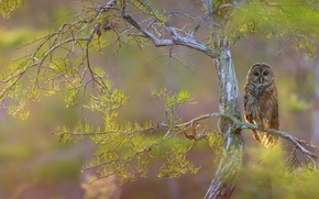 Обои дерево, ветки, ястребиная сова, птица