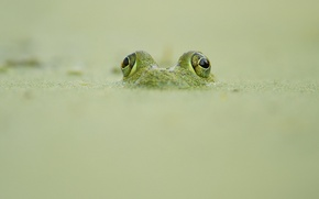 Обои looking out, frog, camouflage, wildlife