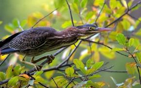 Картинка птица, листва, ветка, американская зелёная кваква, green heron