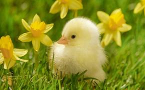 Обои трава, макро, цветы, птица, желтые, цыпленок, птенец, нарциссы