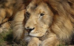 Обои морда, отдых, лев, лапы, лежит, смотрит, довольный