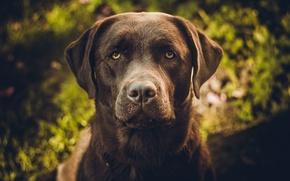 Картинка Собаки, лабрадор, ретривер