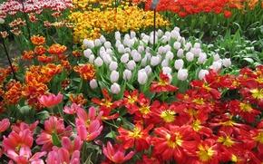 Обои цветы, Keukenhof, Нидерланды, Lisse, разноцветные, сад, тюльпаны