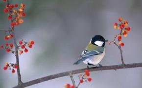 Картинка ягоды, птица, ветка, птичка, синица