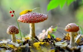 Картинка ландыш, природа, мухоморы, листья, ягоды, трио, грибы, осень, лес
