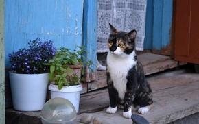 Картинка кошка, муся, трёхцветная, жопульдра