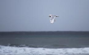 Картинка pacific ocean, sea, owl, wildlife, snowy owl