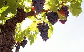Картинка кисть, виноград, гроздь, лоза, листья