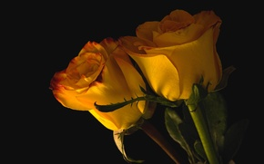 Картинка пара, розы, бутоны, желтые