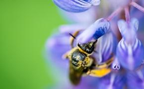 Картинка природа, нектар, пчела, растения, насекомое, цветки